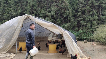 农村小伙在家养土鸡,提着小桶去捡鸡蛋,越捡越开心
