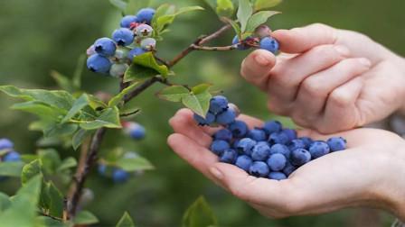 盆栽蓝莓果实在膨大时期,这几件事很关键,和果实大小、甜度有关系