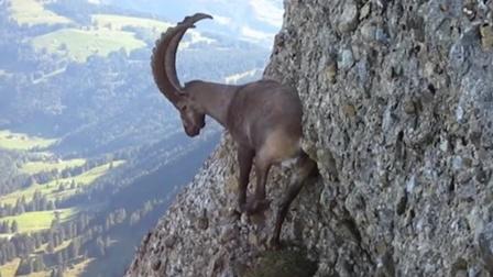 岩羊母子觅食,羊妈妈不慎坠入百米高的悬崖