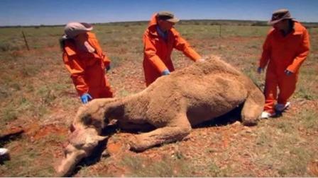 """骆驼的驼峰全是""""水""""?"""