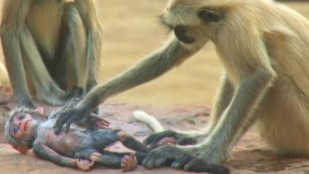 一只假猴被扔到猴群里,猴子的反应让人感动