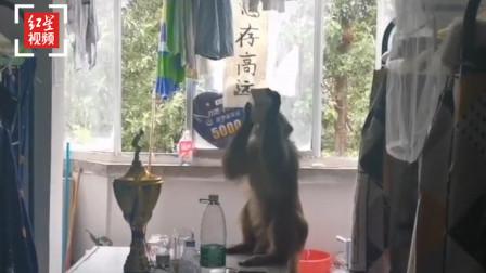 西昌泸山顽猴下山滋扰校园 景区:接到反映