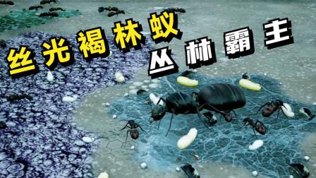 蚂蚁帝国:丝光褐林蚁,成为丛林霸主!