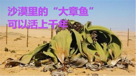 """沙漠里的""""大章鱼"""",哪里有水就往哪走,可以活上千年"""