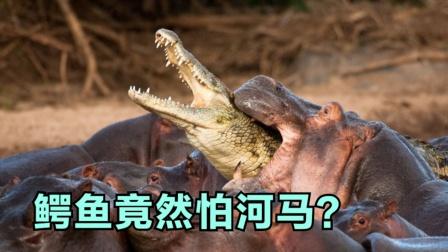 凶猛的鳄鱼竟然怕河马?河马有多厉害?