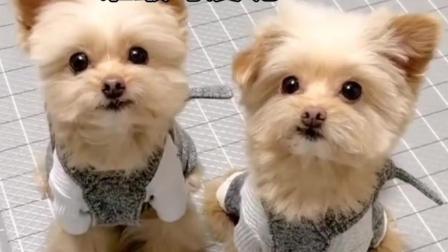 可爱宠物狗练习舞蹈搞笑视频