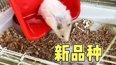 网友送给我一只大仓鼠,眼睛眯成缝,上火了