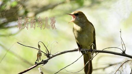 实拍夜莺鸟声,最好的鸟儿歌,真是太好听啦!