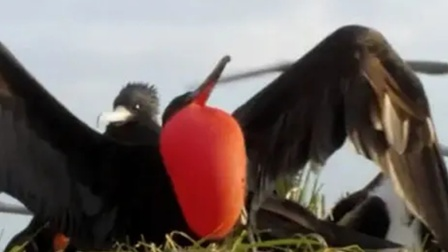 从未见过如厚颜无耻之鸟,随时随地的比心!
