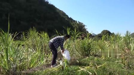 农村小莫:小莫找蜜蜂有绝招,利用借蜂带路方法成功找到2窝,效果不错!
