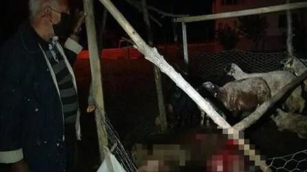 土耳其:一流浪狗闯入羊圈,咬死一半绵羊