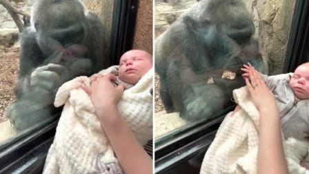 母爱相通!雌大猩猩深情注视5周大婴儿,隔着玻璃舔孩子