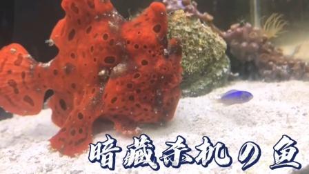 这鱼看起来蠢萌可爱,实际暗藏杀机!