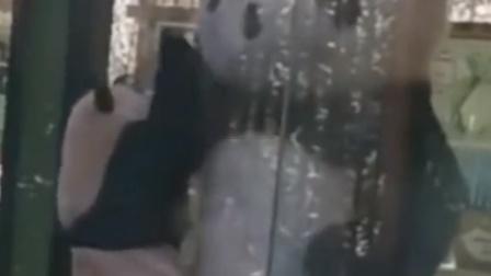 当大熊猫遇到熊猫玩偶,竟站起来求抱抱!网友:心都要萌化了