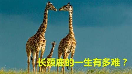 要喝水先劈叉,长颈鹿的一生有多难?