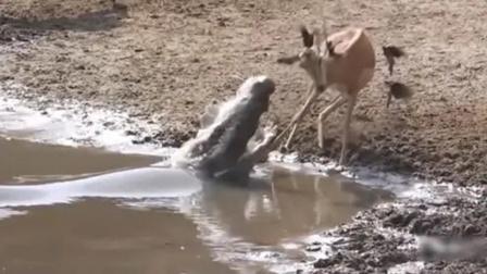 """鳄鱼水边偷袭羚羊,怎料羚羊使出""""轻功""""!"""