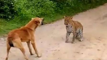 狗子回家途中,遭到豹子偷袭!