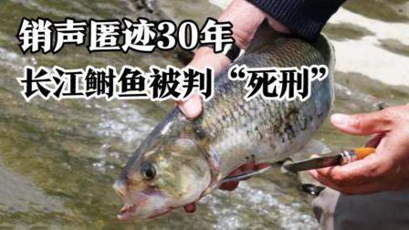 """长江的""""重病"""",鲥鱼销声匿迹30年,如今被判""""死刑""""?"""