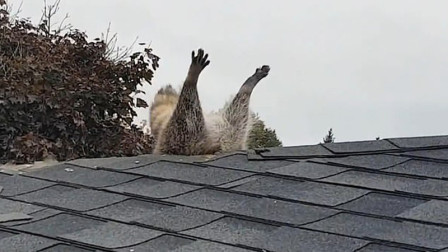加拿大:一浣熊企图进居民家反被卡,后腿和尾巴尴尬翘在空中