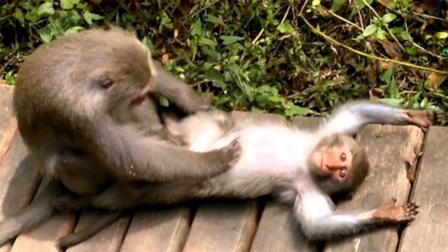 公猴帮母猴抓虱子,捉着捉着就开始不正经了,镜头全程跟拍