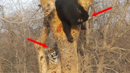 黑熊被老虎追到树上,以为自己安全了,接下来反坑了自己一把!
