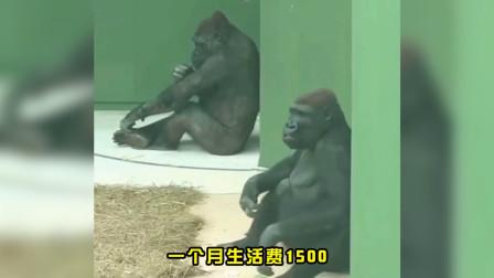看!最会算账的猩猩哥,精打细算本猩