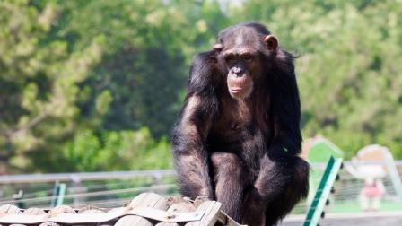 猩猩喝饮料,一瓶都不够喝