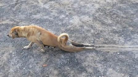 双腿残疾的狗在地上拖行,下一秒画风突变!