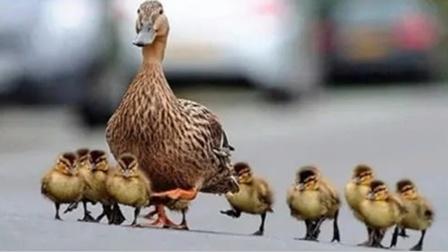 鸭妈妈带着小鸭子过马路,下一秒笑翻众人!