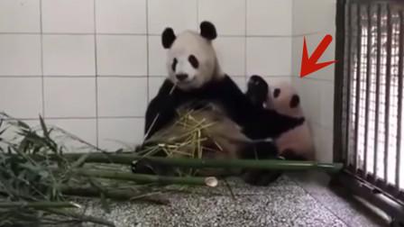 熊猫一掌推开宝宝,结果突然想起娃是亲生的,下一秒举动令人爆笑!