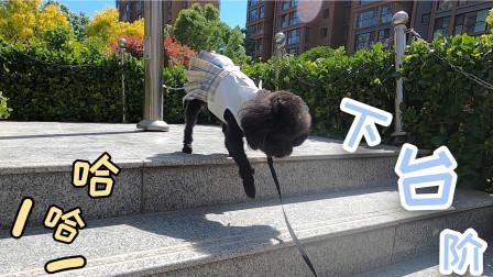 小泰迪下台阶时有多小心翼翼?