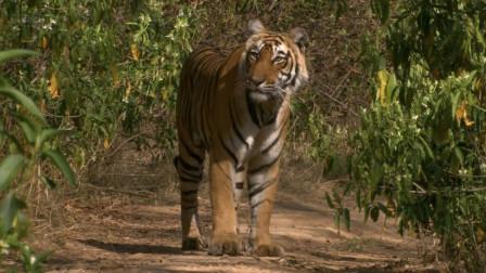 母老虎到底有多凶?导演拍下了她的真实生活,残忍至极却很伟大!