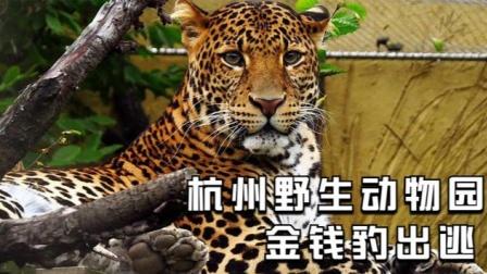 杭州动物园金钱豹出逃隐瞒不报,是利益熏心,还是另有隐情?