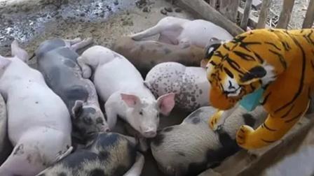 将假老虎放进猪圈,二师兄的反应太逗了!