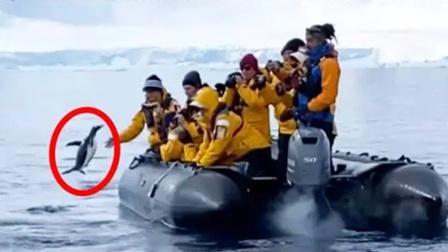 企鹅遭虎鲸捕杀!求生欲爆棚腾空一跃跳上船