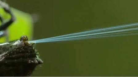 真是不可思议!一只小蜘蛛,竟能用蛛丝搭成一条长25米的桥!