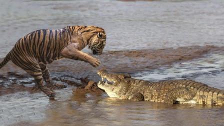 活了20岁的母老虎有多凶残?这是它猎杀鳄鱼的场面,无人能敌!