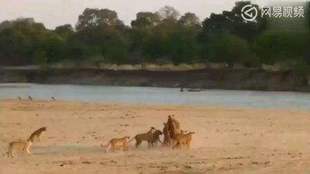 狮群猎杀大象