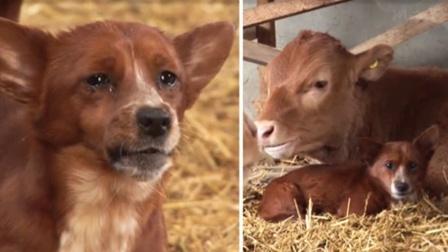 """狗狗与牛,两个""""通人性""""的小动物无法分开"""
