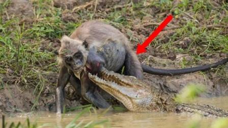猴子趴在水边喝水,路人凑近一看吓了一跳!