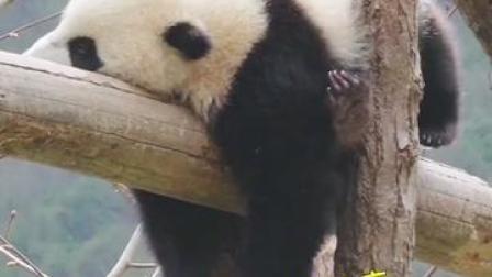 干饭熊,干饭魂!卧龙大熊猫贪吃又贪睡,萌翻网友!网友:像极了我自己😂