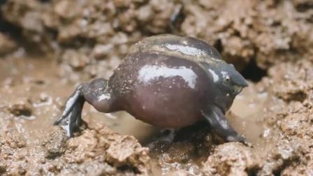 """这蛙长个猪鼻子,是个老不死的""""活化石""""!"""