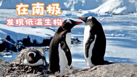 科学家在南极发现最适合低温生存的物种,超过五度就有可能丧命!