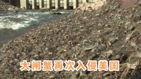大闸蟹在美国泛滥大肆破坏,要求抓到后扔进冰箱