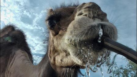 几周没喝水的骆驼,一口气灌下120斤水!