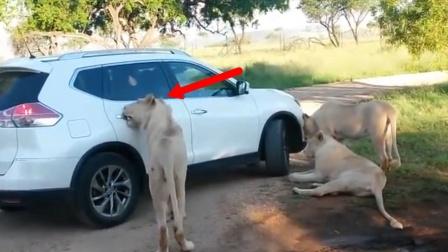 """莫非这就是""""开盖即食""""?狮子咬开车门!"""