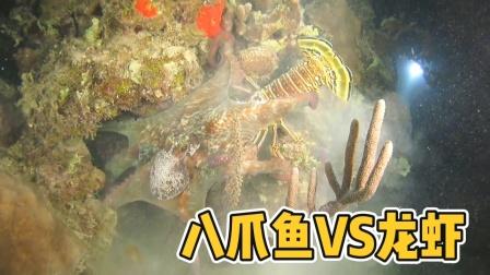 八爪鱼抱住大龙虾,这顿几百块没了!