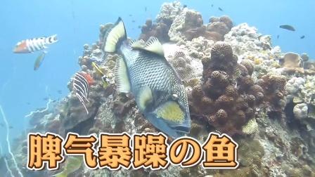 惹不起的珊瑚礁鱼,对人发动疯狂袭击!
