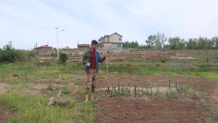 东北乡村农耕日志:种辣椒🌶️(移栽小苗)菜园的五月