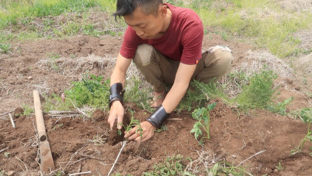 东北乡村农耕日志:种番茄🍅(移栽小苗)菜园的五月